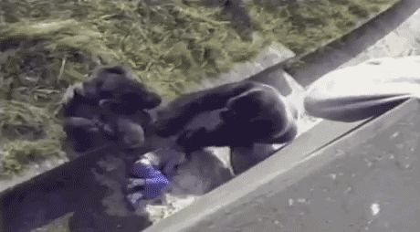самец-горилы-успокаивает-ребенка